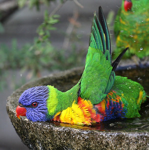Rainbow Lorikeet - 030