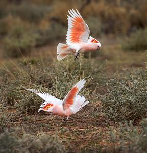 Pink Cockatoo -4717a