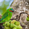 Double-eyed Figparrot,male_3511