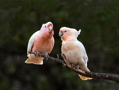 Pink Cockatoo - 4982