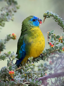 Turquoise Parrot_8163a