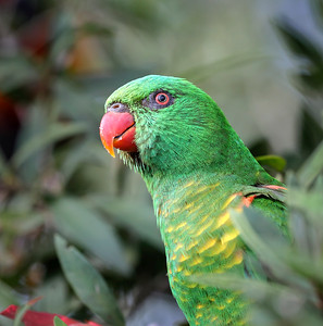 Scaly-breasted Lorikeet -5064