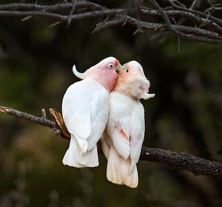 Pink Cockatoo - 4952
