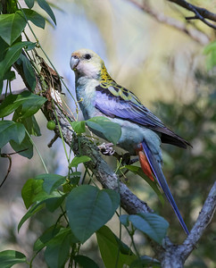Pale-headed Rosella - 4444