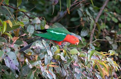 Australian King Parrot - 5730