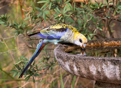 Pale-headed Rosella - 6275