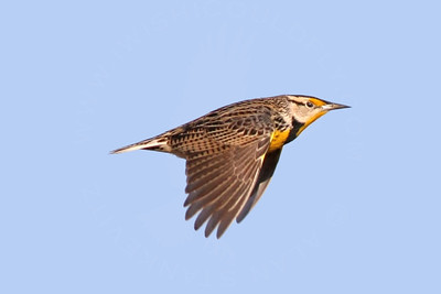 Meadowlark, Eastern