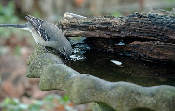 Northern Mockingbird at bird bath
