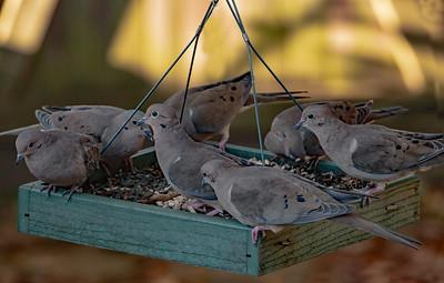 Mourning Doves on feeder