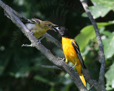 Oriole, Baltimore [Chicks/Nest]
