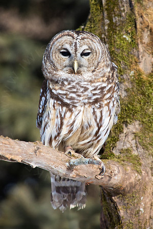 Owl, Barred  [Perched]