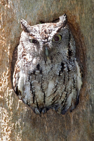 Owl, Eastern Screech [Gray Morph]