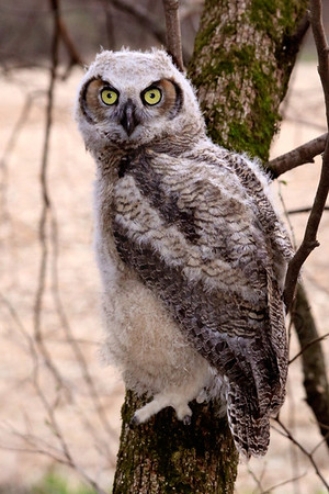 Owl, Great Horned [Owlets]