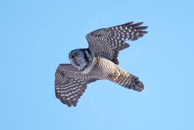 Owl, Northern Hawk