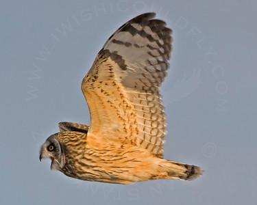 Owl, Short-Eared