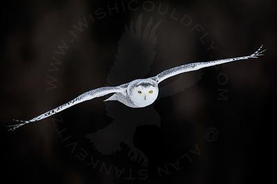 Owl, Snowy [In-Flight]