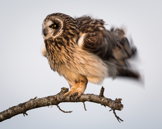 Short Eared Owl Shake Time