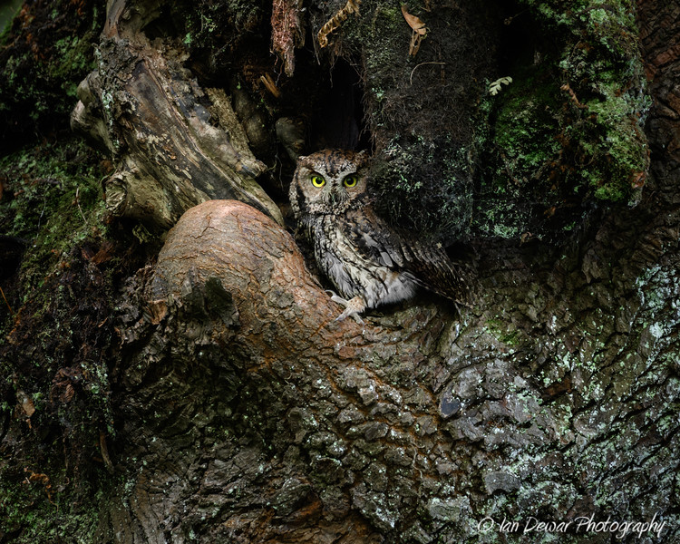 Western Screech Owl in the shadows