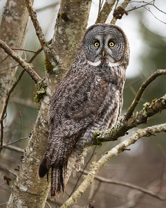 Great Grey Owl in the Snoqualmie Valley