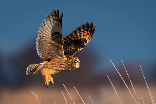Short Eared Owl take a morning flight