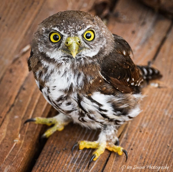 Northern Pygmy Owl on deck