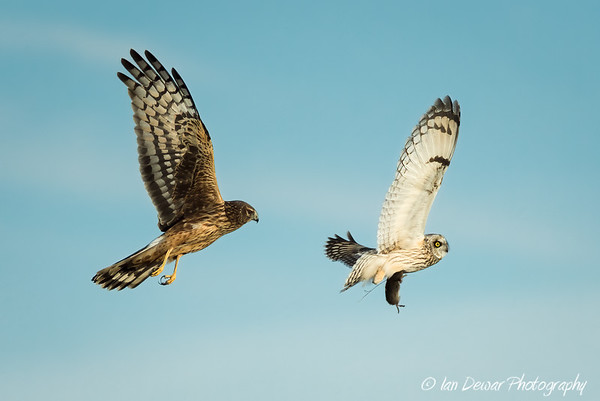 Northern Harrier pursuing a Short-eared Owl