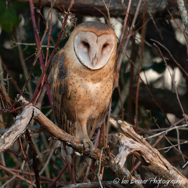 Barn owl resting in winter's hedgerow