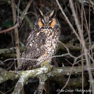Long Eared Owl Day Roost