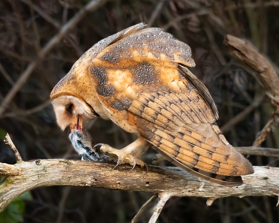 A Barn Owl eating