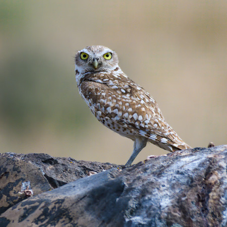 Burrowing Owl watching