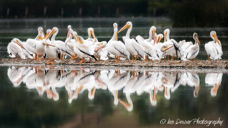 A group of pelicans resting