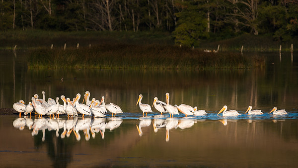 Group of pelicans gathering together
