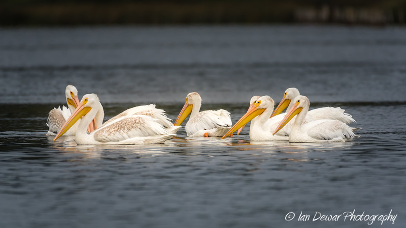 Group of white pelicans fishing