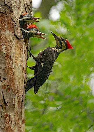 Pileated Woodpecker with young at nest hole.