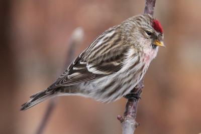 Redpoll, Common