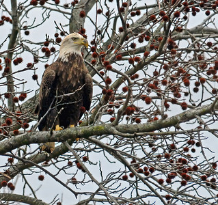 Bald Eagle Waiting and Watching.