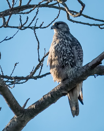 Gyrfalcon in Skagit Valley in Winter