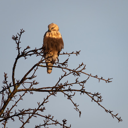 Rough Legged Hawk watching