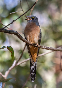 Fan-tailed Cuckoo_6685