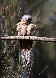 Fan-tailed Cuckoo -2447
