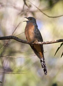 Fan-tailed Cuckoo_6774