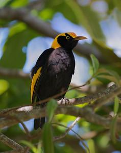 Regent Bowerbird,male_4305