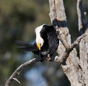 Little Pied Cormorant - 5697