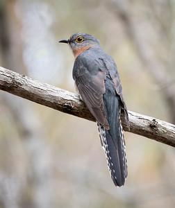 Fan-tailed Cuckoo - 6084