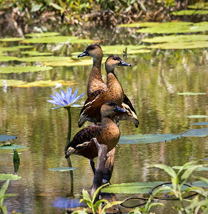 Wandering whistling-duck - 6564