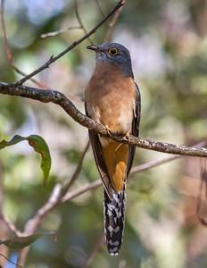 Fan-tailed Cuckoo_6686