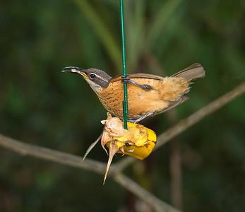 Victoria's Riflebird_0967