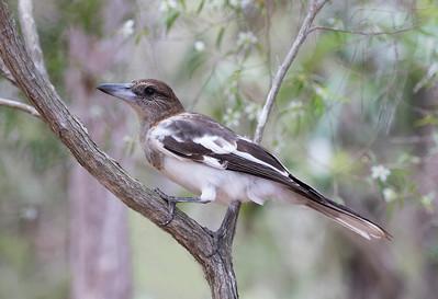 Pied Butcherbird,immature_2181