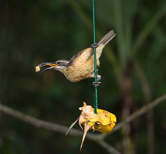 Victoria's Riflebird_0971