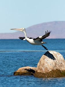 Australian Pelican - tryptich_3